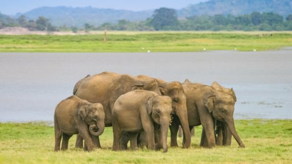 A herd of Sri Lankan elephant (the largest of four subspecies of the Asian elephant) next to a lake in the Minneriya National Park in Sri Lanka.